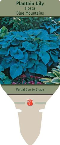 Plantain Lily Hosta Blue Mountains From Netherland Bulb