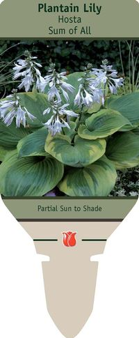 Plantain Lily Hosta Sum Of All From Netherland Bulb