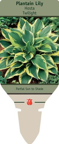 Plantain Lily Hosta Twilight From Netherland Bulb