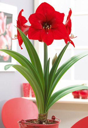 Amaryllis Hippeastrum Large Flowering Red Lion From