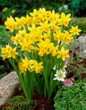 Narcissus Narcissus Specialty T 234 Te 224 T 234 Te From Netherland Bulb