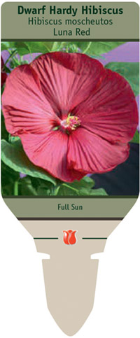 Dwarf Hardy Hibiscus Hibiscus Moscheutos Luna Red From Netherland Bulb