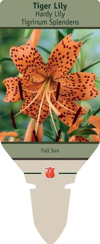 tiger lily planting instructions