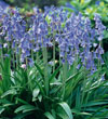 English Blue Bells
