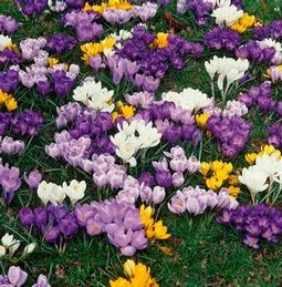Jumbo Crocus Mixture