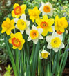 Daffodil Mixture